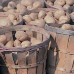 В прошлом году волыняне экспортировали картофеля на 300 миллионов